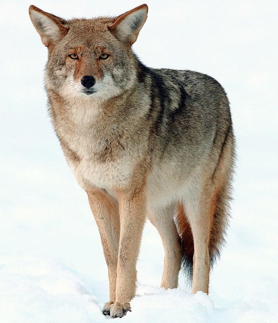 Coyote