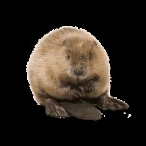 Michigan Beaver Removal