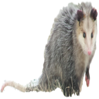 Opossum Removal in Michigan
