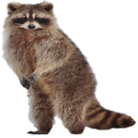Raccoon Removal Company in Michigan