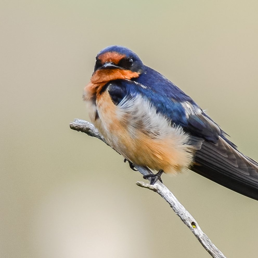 Barn Swallow Control