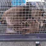 Raccoons in a trap