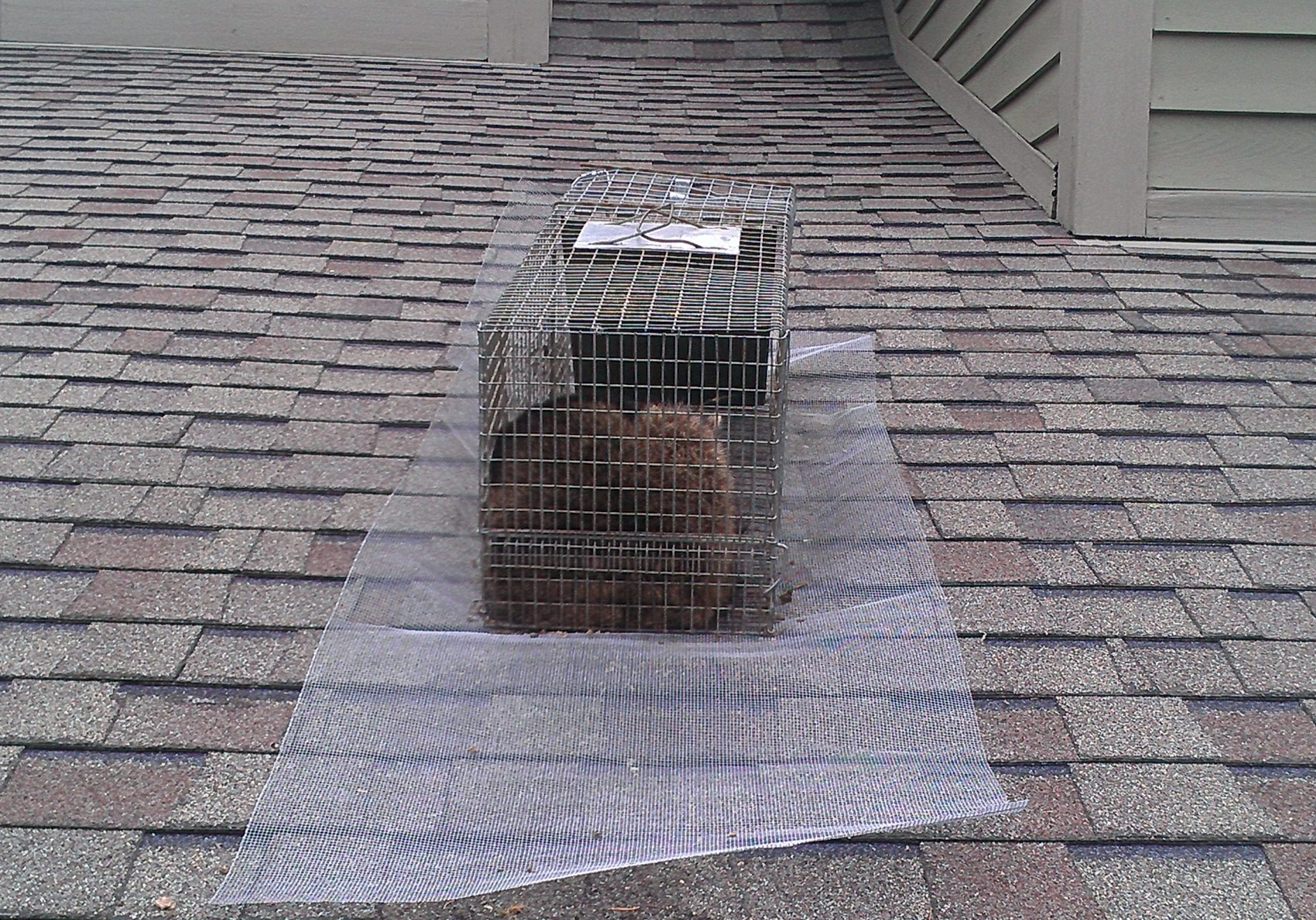 How to Catch a raccoon on a roof