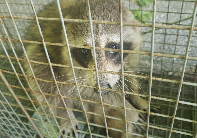 Raccoon removal in Michigan